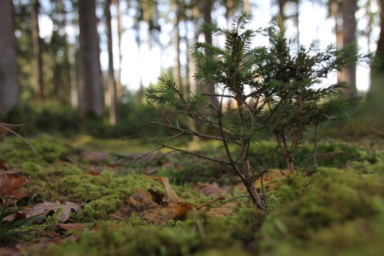small-fir-tree-768x512
